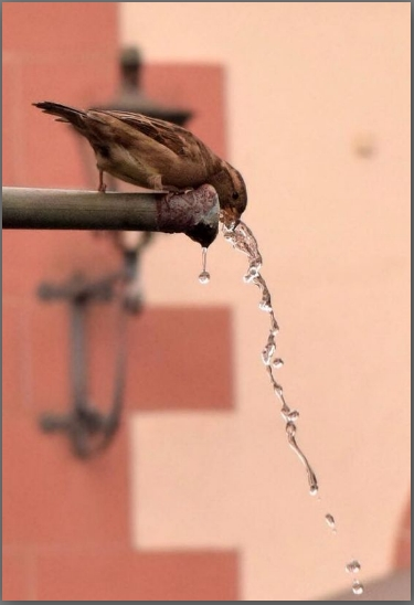 A sparrow drinking water